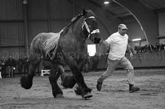 DSC_2860 (Ton van der Weerden) Tags: horses horse dutch de cheval belgian nederlands belges draft 2012 chevaux belgisch trait trekpaard ghlin trekpaarden ghlinhengstenkeuring2012 hengstenkeurin