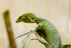 kadal hijau (Hale wistantama) Tags: green dragon lizard kadal