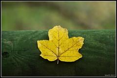 foglia di betulla (fumaphoto76) Tags: minolta sony beercan foglia alpha autunno brescia betulla a550