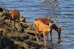 Three Bucks by the Ocean (Peggy Collins) Tags: ocean canada reflections britishcolumbia deer pacificnorthwest lowtide bucks sunshinecoast blacktaileddeer deerbucks animaldrinking peggycollins animalsbytheocean