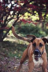(the fragile.) Tags: dog jumping mix dof cross bokeh boxer doberman playful pinscher