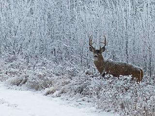 White-tailed buck in a winter wonderland