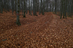 November woods (Gregor  Samsa) Tags: wood november autumn fall leaves forest highlands woods track afternoon czech path czechrepublic leafs bohemia moravia vysoina cesko esko eskrepublika vysocina vrchovina ceskomoravska czechmoravian eskomoravskvrchovina ceskomoravskavrchovina czechmoravianhighlands