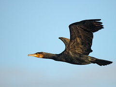 Cormorant-December (Tony McLean) Tags: cormorant wildlifephotography tophilllow nikond800 cormorantinflight nikon500f4gvr 2012tonymclean