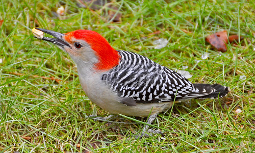Red bellied woodpecker!!