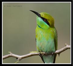 Green Bee-Eater (Guru captures) Tags: green hyderabad beeeater peeranchervu