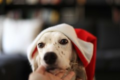Little sweet Santa (~ielle~ ilarialuciani.com) Tags: santa christmas dog look hat cane eyes sweet bokeh sweetness natale mydog gettyimages santaklaus setter dogslife christmashat babbonatale englishsetter sweetlook lucilla ilarialuciani