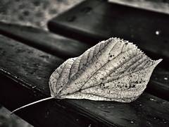365 days / day 267 - Tired (Melinda Szente) Tags: blackandwhite bw detail macro texture nature monochrome leaves contrast leaf naturallight 365 mm simple hmm 365days 365project 365set macromondays macromondaystheme
