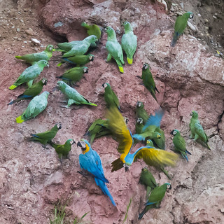 Blue and Gold Macaws_Macaw Clay Lick, TRC, Carabaya, Puno, Peru - Darkest Peru Day 3 63SQBZ_
