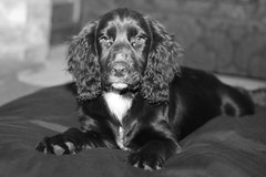 Jasper 12 (The Spaniel Man's Photos) Tags: yahoo:yourpictures=yourbestphotoof2012