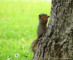 Baby Squirrel On Pecan Trunk (Kaptured by Kala) Tags: sciurusniger foxsquirrel squirrel garlandtexas babysquirrel baby eating alone cute pecantree treetrunk