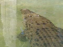 DSC00375 (Paradise Photos) Tags: dreamworldgoldcoast dreamworld tiger tigerisland bengaltiger sumtrantiger crocodile wildlife cockatoo lorikeet kangaroo whitetiger mohan mohanthewhitetiger sonycamera sonycybershot sonyf717 koala easternwaterdragon