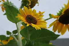 Girasole (Leandro.C) Tags: fiore girasole colore giallo