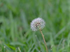 P8150262 (Paul Henegan) Tags: blowball blur dandelion lawn summer