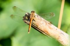 Heubachniederung IV (michel1276) Tags: libelle heidelibelle heubachniederung dragonfly earthnaturelife