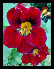 Nasturcje po deszczu (Renata_Lipiska) Tags: kwiat flower kwiaty flowers nasturcja nasturtium outdoor