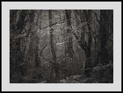 Dark Leaf Matter 220716/01 (Gibbom) Tags: darkenergy distagont235 distagon352ze nature natural trees mystery trunks leaves arboreal me movement painterly