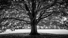 The tree - Avebury, United Kingdom - Black and white photography (Giuseppe Milo (www.pixael.com)) Tags: grass spring natural calm print nature trees summer contrast monochrome photography black horizontal white fineart canvas prints old european outdoor outdoors country wood bw countryside photo photograph outside europe peaceful forest wallart tree blackandwhite park symmetrical tranquil field onsale
