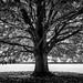 The tree - Avebury, United Kingdom - Black and white photography