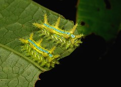 """Early to Mid-instar Stinging Nettle Caterpillars (Cup Moths, likely Phlossa sp., Limacodidae) """"Yellow Caboose"""" (John Horstman (itchydogimages, SINOBUG)) Tags: insect macro china yunnan itchydogimages sinobug moth lepidoptera caterpillar larva cup limacodidae stinging nettle slug 2 yellow caboose chameleon yellowcaboose fbl"""