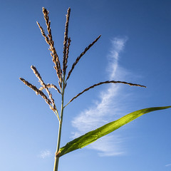 Corn Flower (enneafive) Tags: corn maize flower blue sky olympus omd em5 minimalism light