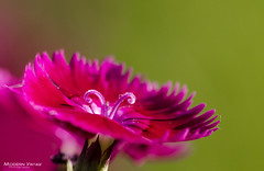 Silky (C h r i s - F.) Tags: nikon d7000 6t closeup filter lens