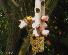 Feeding the Birds (daleteague17) Tags: robin bird feeder birdfeeder feedingthebirds erithacusrubecula robinredbreast