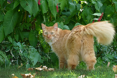 Coming out ... (Jan Gee) Tags: billy garden new cat chat katze kater tomcat rode roter orange ginger tail gato gatto kot