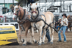 Cowgirl has the upper hand (mightymuffinful) Tags: armstrongfair caballo caballodetiro canada cheval chevaldetrait country drafthorse equine hest horses ipe livestock power cowgirl cowboy