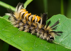Milkweed tussock moth caterpillar (benevolentkira7) Tags: bug bugs insect insects crawling legs color caterpillar orange black face