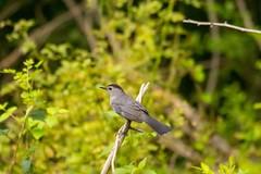 7K8A3796 (rpealit) Tags: scenery wildlife nature east hatchery alumni field hackettstown gray catbird bird