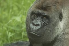 Bokito - Blijdorp (Jan de Neijs Photography) Tags: bokito zilverrug zilverruggorilla gorilla blijdorp rotterdam zoo dierentuin tamron tamron150600