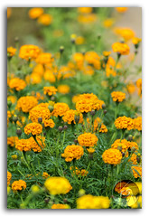 Beautiful field of yellow Marigold flowers (KS Photography!) Tags: marigold flower spring field garden meadow white yellow green sweetcream summer floral lawn farm plant scene outdoor sunlight commercial agriculture grow sunshine season country herb land idyllic natural bright blossom plain scenic beautiful fresh nature landscape beautyinnature scenery background freshness environment depthoffield wallpaper ecology abstract petal gardening vibrant