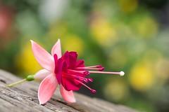 Fuchsia (paulapics2) Tags: bokeh blumen fleur floral feminine pretty nature garden summer macro canoneos5dmarkiii sigma105mm colourful summery stamens pink