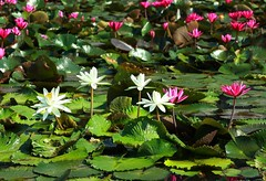 DP1U4098 (c0466art) Tags: 2016 summer season lotus field  wate rlilies cloom colorful flowers scenery landscape canon 1dx c0466art