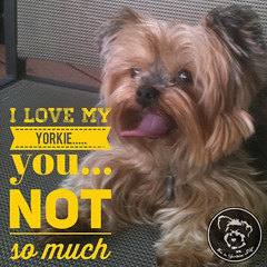 Thanks for being there sweetheart! (itsayorkielife) Tags: yorkiememe yorkie yorkshireterrier quote