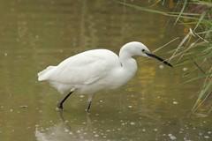 Aigrette garzette au parc ornithologique du Pont de Gau - Little Egret (frimoussec) Tags: aigrette garzette au parc ornithologique du pont de gau little egret
