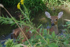 Caught Drinking (Who, me?) (Imagination04) Tags: reedturner reed turner woodland preserve long grove il illinois white tail deer hdpentaxda1685mmf3556eddcwr pentaxda1685mm pentax1685mm da wr