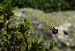 araigne (bulbocode909) Tags: araignes nature vert rouge