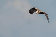 busard des roseaux (circus aeruginosus) (G.NioncelPhotographie) Tags: busard des roseaux circus aeruginosus rapace oiseau ornitho