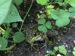 Home Gardening Center (Kristine Paulus) Tags: frog nybg homegardeningcenter publicgarden urbanwildlife bronx
