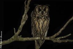 VEF_96692-2 (vildeer) Tags: coruja orelhuda asio clamator striped owl