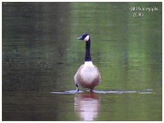 Canadian goose (shillphotography001) Tags: goose gander reflection water canadian canada green