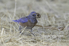 Western Bluebird with Lizard (X68_6390-1) (EricLuSF) Tags: westernbluebird bluebird lizard