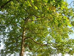Walnu-Baumkrone (Jrg Paul Kaspari) Tags: pfalzel mosel walnus juglans regia juglansregia baum tree abre baumkrone walnuskrone grn green laubdach wallanlage
