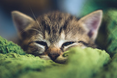 Pisztcia - Explore Sep 23, 2016 (Dobos Lszl) Tags: cat catling kitten kitty closefocus czj pancolar zeiss vintagelens animal pet cute sleeping depthoffield