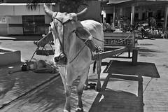 tragedy and reality (Jamie B Ernstein) Tags: nikon brazil feijo acre amazon market fruitmarket bull cow bullock native drugs sleep cart monochrome blackandwhite street