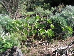 Aeonium undulatum (mapa-73) Tags: grancanaria succulent crassulaceae aeonium undulatum macaronesia jardínbotánicovierayclavijo