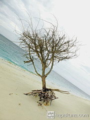 pulaubabibesartree_single