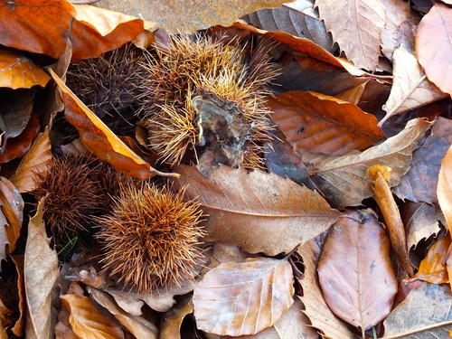 Fallen leaves and sweet chestnut